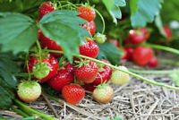 Strawberry Plants Buy Or Sell Plants Seeds Fertilizer Soil Locally In Toronto Gta Kijiji Classifieds