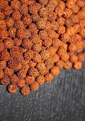Loose Rudraksha Rudraksh 10mm 10 mm Beads Hindu Yoga Meditation Wholesale Price