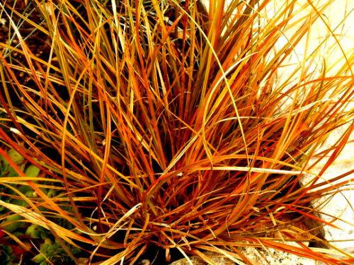 PERENNIAL 109 SEEDS* CAREX FLAGELLIFERA,ORNAMENTAL GRASS WEEPING BRONZE SEDGE