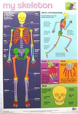 Redelijk My Skeleton Educational Poster Wall Chart By Autumn Publishing 52cm X 76cm - New Koop Nu