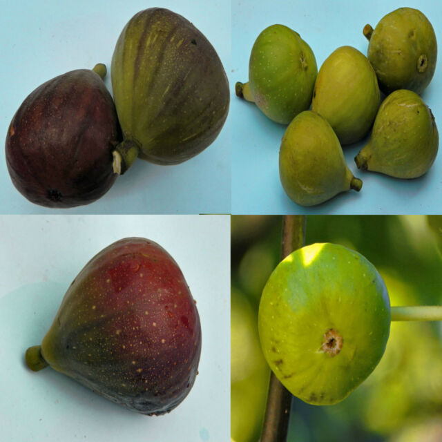Ficus carica, Common Edible Mission Fig Tree, Feige Higuera Higo Фи́га, 50 seeds
