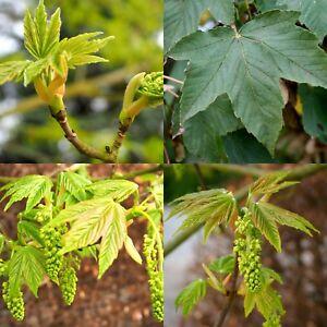 25-Bergahorn-Acer-pseudoplatanus-Laubbaum-Bienenweide-50-80-cm-wurzelnackt