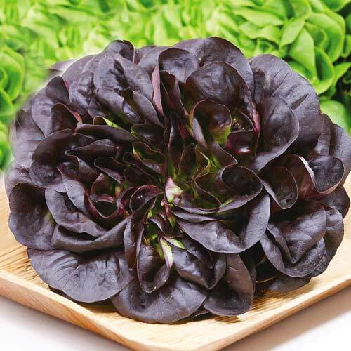 Seeds Lettuce Balkonnyy Krasnyy  Balcony Red Organic Salad Seed Heirloom