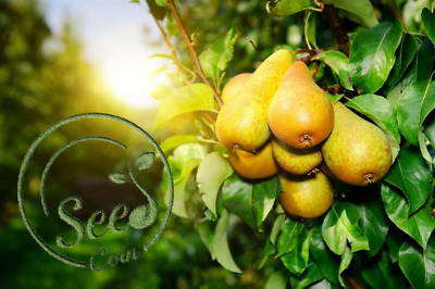 Yellow Chinese Pear Tree Seeds Bonsai Sweet Flower Plant Garden Home 50 Pcs