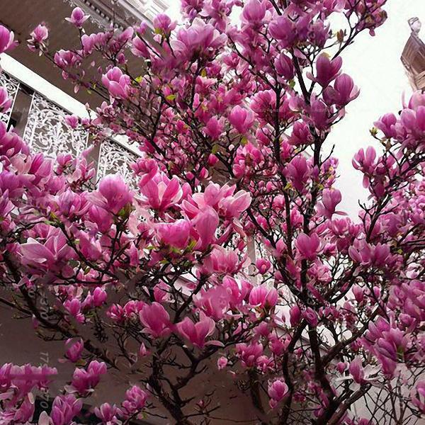 10pcs Magnolia Seeds Magnolia Tree Courtyard Fragrance Flower