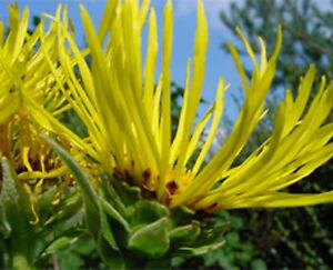inula helenium elecampane showy perennial hardy to zone 3 40