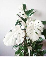 100pcs White Monstera Bonsai Garden Seeds Turtle Leaves Tree Palm