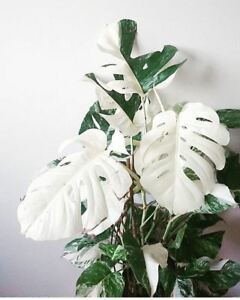 100pcs-White-Monstera-Bonsai-Garden-Seeds-Beautiful-Turtle-Leaves-Tree-Palm