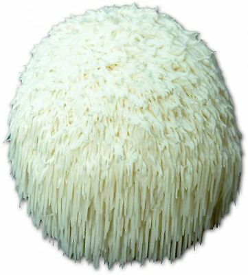 LIONS MANE MUSHROOM PLUG SPAWN - LOG & TREE FUNGI MYCELIUM SPORES- 100 COUNT