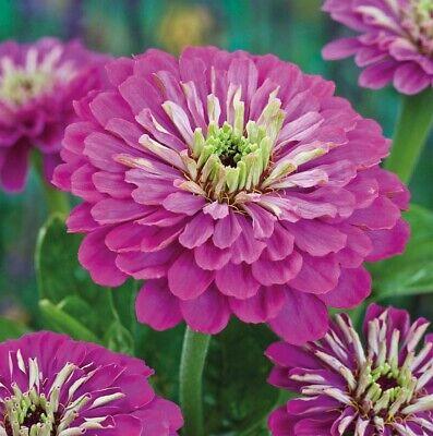Heirloom Bulk Zinnia Seeds Violet Queen Purple Zinnia Seeds Non-Gmo 400ct