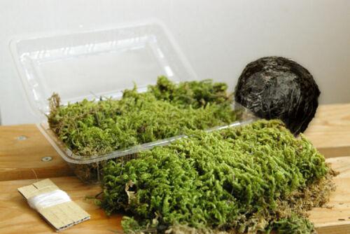 Natural Moss Ball Kokedama Making Kit Made in japan