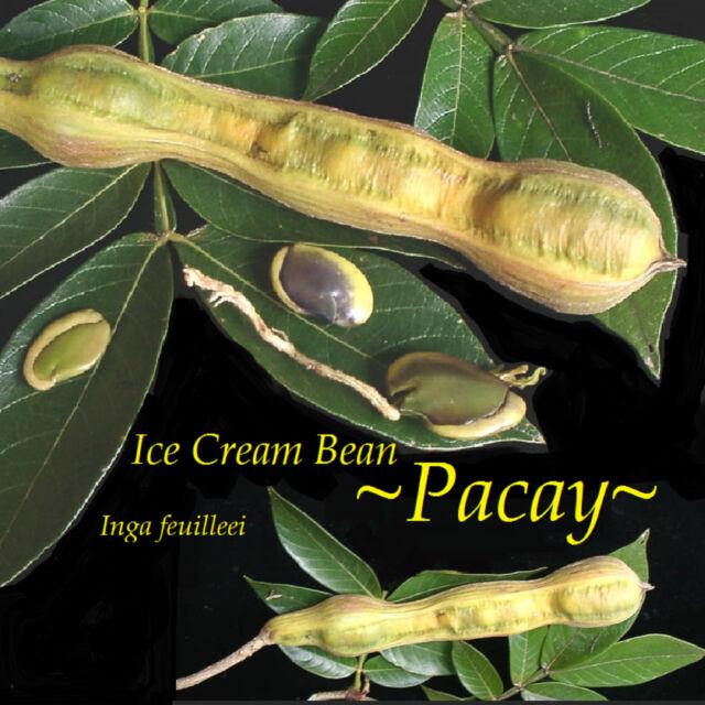 "6/""-10/"" Ice Cream Bean Plant Tree Seedlings Inga Edula FROM HAWAII"