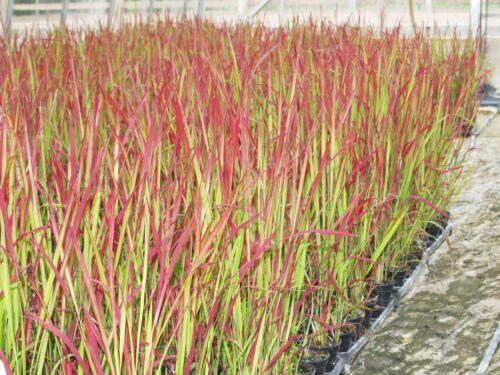Imperata Cylindrica RED BARON BLOOD Grass 9 cm Pot veuillez lire description & t&cs
