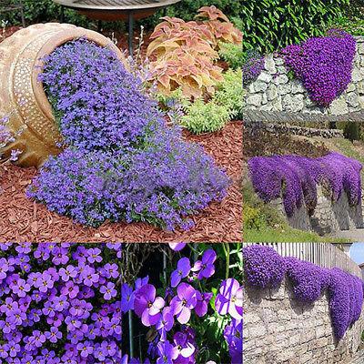 250X Cascade Purple Aubrieta Flower Seeds Perennial Ground Cover Romantic Garden