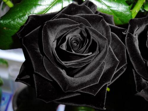 UK Seller Garden Plant 50 Stifling Remorse Rose Flower Seeds Free Delivery