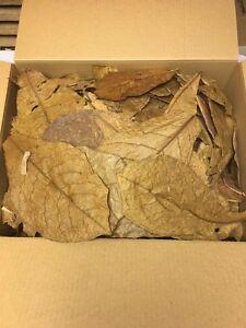 Seemandelbaumblaetter-300-gr-unsortierte-B-Ware-Catappa-Leaves-Wasseraufbereitung