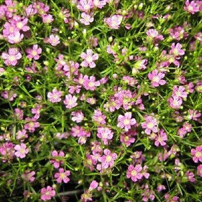 350 RED BABYS BREATH Gypsophila Elegans Flower Seeds