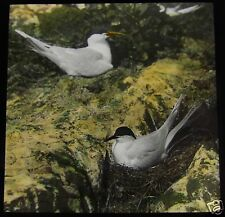 Glass Magic Lantern Slide SANDWID AND TERN C1910 BIRD  L20