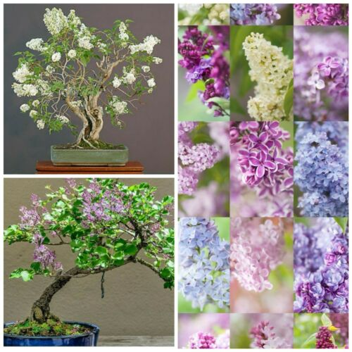 Beautiful French Lilac Tree Seeds Mixed Colours Ideal For Bonsai Tree Use Too Sfhs Org