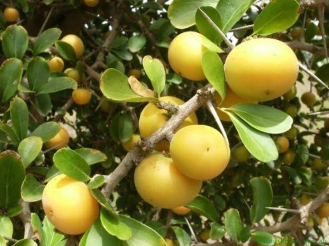 Dovyalis caffra, Kei-Apfel, Kei Apple, 10 Samen