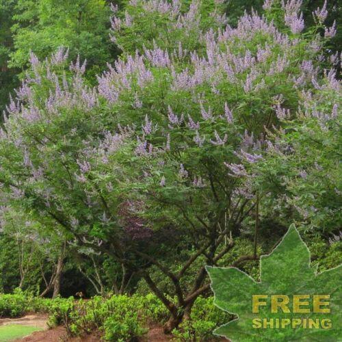 FREE S/&H CHASTE TREE Vitex Negundo 10 SEEDS