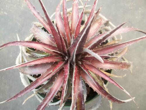 DYCKIA CHERRY COKE Hybrid exotic terrestrial bromeliad air rare seed 100 seeds