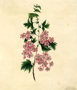 Pink-Saxifrage-Flowers-Original-early-19th-century-watercolour-painting