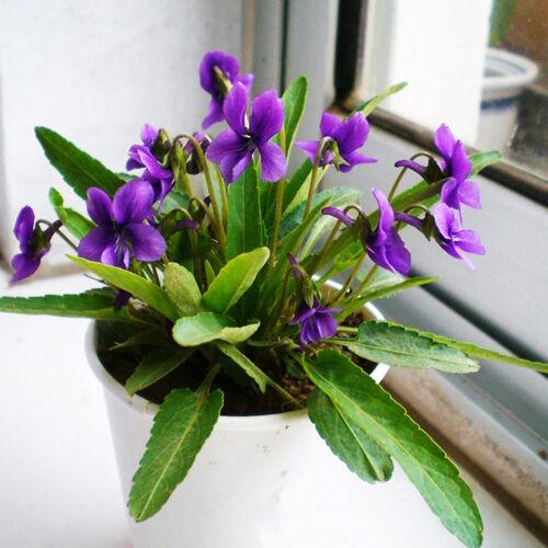 50 Viola Yedoensis Seeds Herba violae Viola philphica munda Garden Flowers