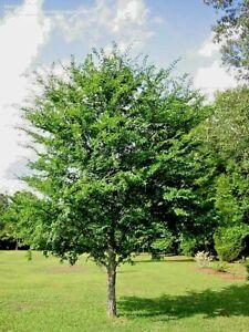 5 WINGED ELM TREES LIV...