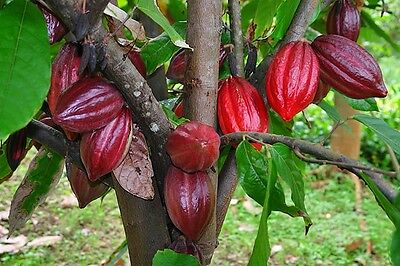 RARE(3)CRIOLLO COCOA SEEDS FOR PLANTING *Chocolate Tree*Cacao Seeds* Combine S/H