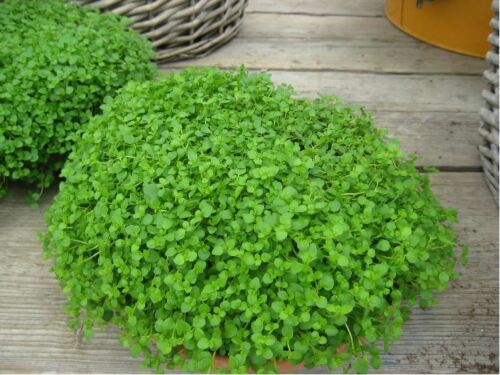 250 Pelleted Seed Mint Mini Mentha requienii Corsican Mint Herb