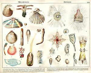 1887-SCHUBERT-CHROMO-22-Salps-Shipworm-Pyrosoma-Tooth-shell-PROTISTS-MANY-FORMS