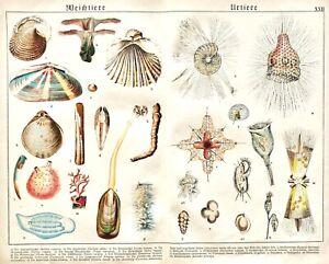 1887-SCHUBERT-CHROMO-22-Salps-Shipworm-Pyrosoma-Tooth-shell-PROTISTS-MANY-FORMS