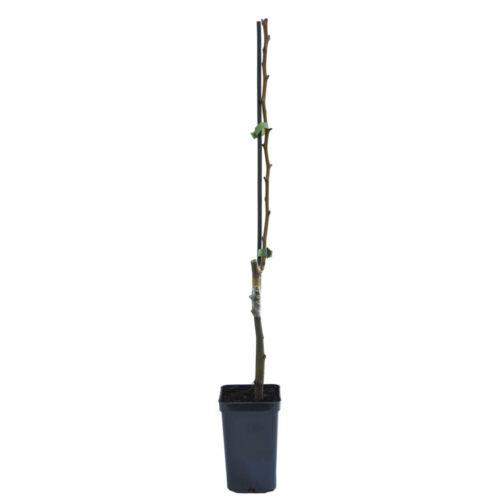 Pear Fruit Tree Hardy Garden Plants 1 x 9cm Potted Mini Patio Tree Plant T/&M