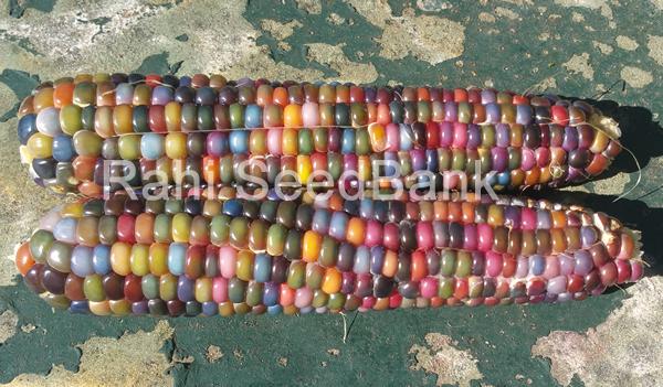 Corn Clico Rainbow - A Beautiful Multi-Colored Corn Variety!!! - 5 Seeds