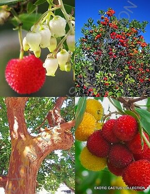 ARBUTUS UNEDO exotic fruit strawberry tree rare flowering madroño seed 50 SEEDS