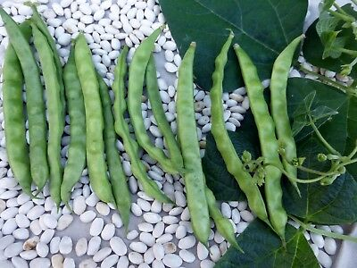 Brown Greasy Pole Bean 100 Heirloom Beans Organic Seeds..Combined Shipping
