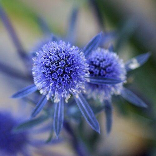 Eryngium planum / Sea Holly / Hardy Perennial / 250 seeds