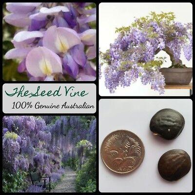 5 Chinese Wisteria Seeds Wisteria Sinensis Climbing Vine Purple