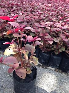 100/% HYDROPONIC RED GARNET AMARANTH Amaranthus Tricolor Vegetable 6,600 Seeds