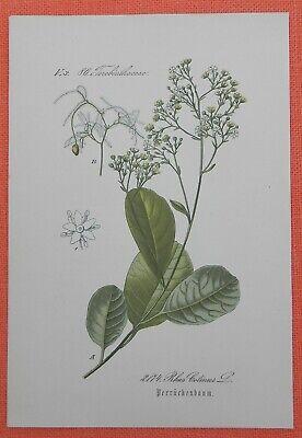 Perückenstrauch Cotinus Coggygria Lithographie 1885 Perrückenbaum Weich Und Leicht
