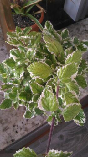 2 esquejes de Plectranthus colioides variegata Planta incienso
