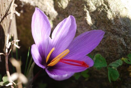 10 Safranzwiebeln Crocus sativus der Safrankrokus  frisch aus Garten