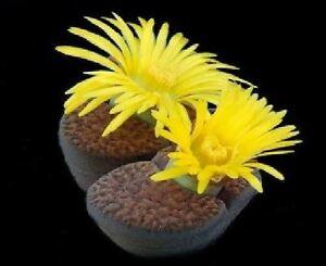 Blumen-Kaktus-Leben-Stein-Lithops-Bromfieldii-20-Samen