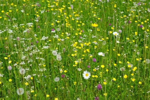 Superb Mixture Wild Flower /& Meadow Grasses All Defra Certified Seed.