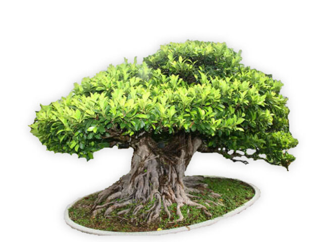 Ficus Benghalensis Tree 100 Seeds Banyan Bengal Fig East Indian Fig Bonsai For Sale Online Ebay