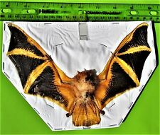 """Asian Painted Bat Kerivoula picta Hanging Near 3/"""" Taxidermy FAST FROM USA"""