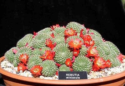 RED CROWN CACTUS (Rebutia minuscula) 10 seeds