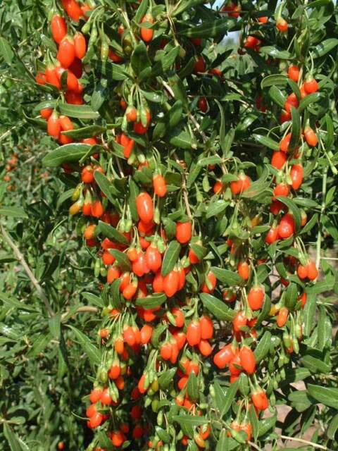 5 piante lycium barbarum Goji pianta DEL giovinezza antiossidante vaso 7 gogi
