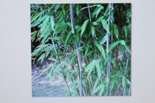 Frosth. 10 Graines Bambou Fargesia Yunnanensis,pas de Barrière de Rhizome